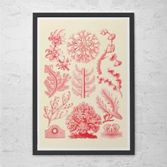 EERNST HAECKEL PRINT Nautical Print Antique Nature Print - Ribba Giclee Print -