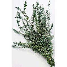 EUCALYPTUS IS BACK IN STOCK!!! Super fragrant, vibrant colors, and preserved to last a long time. Order now in time for Thanksgiving and holiday decorating! DriedDecor.com #eucalyptus #eucalyptuswedding #homedecor #holiday #holidaydecor #christmas #christmasdecor #driedplants #flowerarrangement