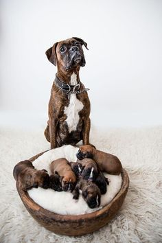 More About The Protective Boxer Puppies And Kids Boxer Dog Puppy, Boxer Breed, Dog Cat, Brindle Boxer, Boxer And Baby, Boxer Love, Cute Dogs Breeds, Dog Breeds, Boxer Pup
