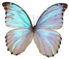 Morpho Godarti Butterfly.