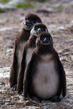 3 cute penguin chicks standing in a row.