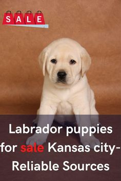 Labrador puppies for sale Kansas City have high search intent over the internet. According to AKC, the rate of Labrador puppy registration... Labrador Puppies For Sale, Kansas City, Labrador Retriever, Internet, Search, Labrador Retrievers, Labradoodle Puppies For Sale, Searching, Labrador