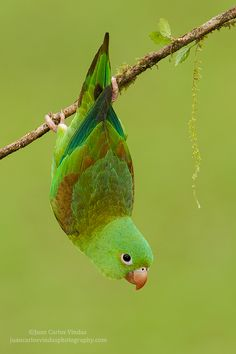 Orange-chinned Parakeet - We had these in Panama. Delightful, affectionate and intelligent birds. I love them.