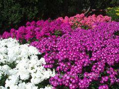 Syysleimu - Phlox paniculata Plants, Arboretum
