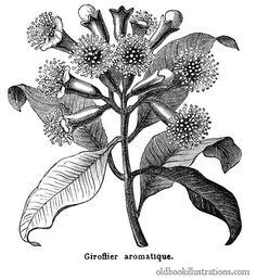 Illustration showing Clove tree, in the family Myrtaceae. Cloves are native to Indonesia and used as a spice in cuisine all over the world Flower Art Drawing, Botanical Line Drawing, Plant Drawing, Botanical Drawings, Botanical Prints, Plant Illustration, Botanical Illustration, Clove Plant, Hatch Art