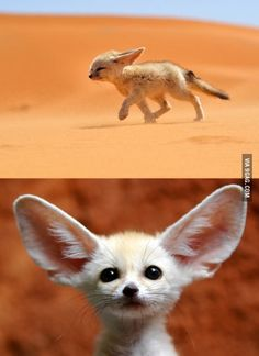 I introduce to you the Arabic Desert Fox