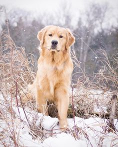 Jaxson, the golden retriever