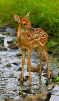 Spotted Baby deer - Fawn standing in the shallow rocky stream, his ears high and alert, listening carefully. Deer Pictures, Animal Pictures, Woodland Creatures, Woodland Animals, Forest Animals, Nature Animals, Animals And Pets, Wild Animals, Beautiful Creatures