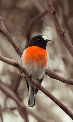 Scarlet Robin ( (Petroica boodang). A common robin endemic to Australasia. photo: David Cook.