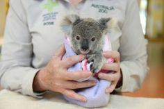 This undated handout photo received from the Australia Zoo on Sept 19, 2016 shows Shayne, a nine-month-old orphaned baby koala who has found solace cuddling a fluffy toy koala in the absence of his dead mum, as he recovers from the trauma of her death. — AFP