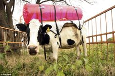The Obama admin stated that it would make a multi-pronged attack on cow flatulence, in an attempt to cut methane emissions. So, the guy can't seem to run a healthcare website, but he CAN control how 'windy' cows are! Pictured is a cow in Argentina wearing a cow backpack that can be used to trap the animal's natural gas. BIZARRE!