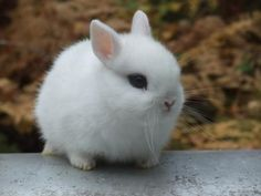 I am an animal lover, and yet I have never wanted a rabbit until I saw this pic...Netherland Dwarf so CUTE!!