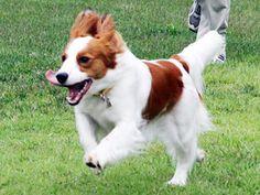 Great photo of a Kooikerhondje running.
