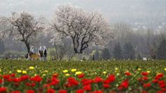 Kashmir Tulip Festival most probably starts at the end of February or the First Month of March every year.you can find varieties of Tulip in Miles