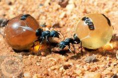 Yes you can eat these: Honey Ants, Alice Springs Desert Park, Australia