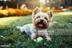 Beautiful Yorkshire Terrier Playing With A Ball On A Grass Photo | Getty Images