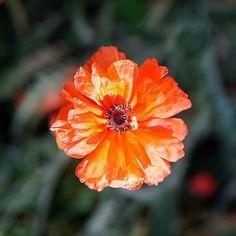 UnikkorakkausPoppy love . . #unikko #värikäs #kesäkukka #oranssi #puutarha #kesäkuu #nelkytplusblogit #poppy #poppylove #flower #flowerstagram #flowerpower #garden #gardening