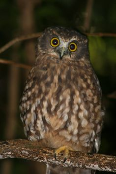 The Morepork! This is New Zealand's only surviving native owl! Blue Butterfly Wallpaper, Beach Cafe, State Of Arizona, Kiwiana, South Pacific, Tasmania, Pet Birds, Animals Beautiful, Art Inspo