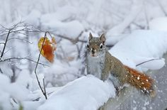 Red Squirrel playing in the snow by Irene on 500px