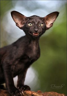 """Some animals are more likely than others to inspire the thought: """"Well, it's different. And may I never see one up close."""" Big ear black... cat?? Nice toothy smile, errr... http://www.pinterest.com/DianaDeeOsborne/funky-mood-lifters"""