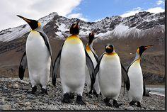 King Penguins, South Georgia