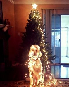 Cooper's Christmas poodle