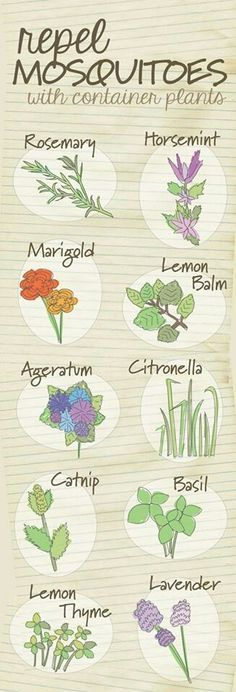 Diagrams That Make Gardening So Much Easier The top 10 container plants that repel mosquitoes naturally.The top 10 container plants that repel mosquitoes naturally. Natural Mosquito Repellant, Mosquito Repelling Plants, Anti Mosquito Plants, Mosquito Spray, Deer Repellant Plants, Indoor Mosquito Repellent, Cat Repellant Outdoor, Mosquito Netting Patio, Squirrel Repellant