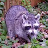 Raccoon Diet