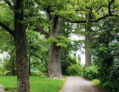 Puu joka pihalle: Tammi | Viherpiha Pihapuuna tammi on pitkäikäinen ja olemukseltaan suojeleva. Myrsky ei sitä helpolla kaada, sillä puulla on laaja ja syvä juuristo, jonka kasvattamiseen se panostaa heti siemenen idettyä. Jo kämmenen kokoisen tammen juuristo ulottuu kolme kertaa syvemmälle kuin pikkutaimella on korkeutta. Avoimella paikalla tammesta tulee leveä-latvuksinen. Puun majesteettinen profiili pääsee parhaiten esiin talvella, kun lumi kerrostuu vaakasuoraan kasvaville oksille.