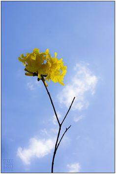 O amarelo em um ceu azul   yellow in a blue sky - week 37/52 by Ronaldo rSantos, via Flickr