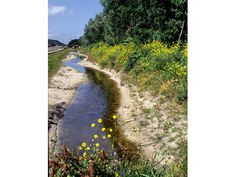 Sinds het einde van de vorige eeuw wordt dit schone water bij Sint Maartenzee naar het Wildrijk van Landschap Noord-Holland geleid. De oevers zijn natuurvriendelijk gemaakt. Het stroompje begint aan de voet van de duinen. Tussen het asfalt, caravans en bebouwing zoekt het een weg door het landschap. Er groeit waterkers en in de oevers inmiddels ook orchideeën. Op 400 meter afstand van de duinen bereikt het water het Wildrijk.