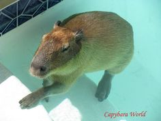 Viewing Gallery For - Pet Capybara For Sale