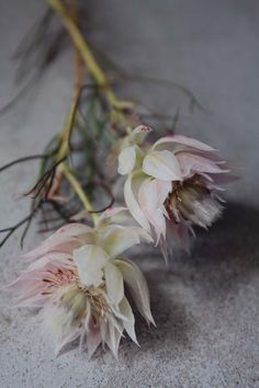 AES - a smaller different protea - 'Blushing Bride' proteas Flor Protea, Protea Flower, Flower Bouquet Wedding, Floral Wedding, Flower Names, Flower Art, Pink Flowers, Beautiful Flowers, Exotic Flowers