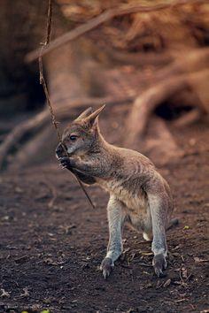 Baby kangaroo... <3