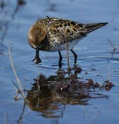 Egg Collection Last Chance for Critically Endangered Spoon-billed Sandpiper