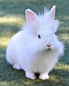 Little white Lionhead Rabbit... by Lacoste marie via indulgy.com