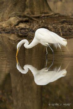 Great white egret (Ardea alba) wading in the water above it's mirrored reflection. Duck Art, White Egret, Most Beautiful Birds, Shorebirds, Australian Birds, Herons, Fauna, Animal Paintings, Bird Art