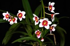 Sarcochilus Heidi | Flickr - Photo Sharing!
