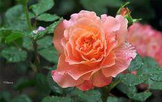 NewPix.ru - Finom virágok csendélet fotó Tatyana image