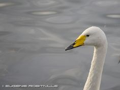 Wooper swan - cygne chanteur