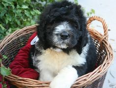 Saint Berdoodle puppy at 8-weeks-old.....I want one, bad.