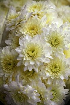 As a florist. These are my most favorite smaller flowers to work with especially in wedding bobcats. Amazing Flowers, Beautiful Flowers, Zinnias, Chrysanthemums, Bellis Perennis, White Chrysanthemum, Flower Quotes, Flower Making, Trees To Plant