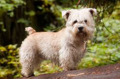 Wheaten Glen of Imaal Terrier
