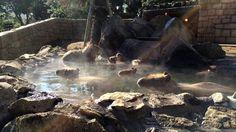 capybara bathing in a japanese hot spring