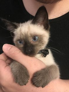 Super cats and kittens siamese pets ideas Puppies And Kitties, Cute Cats And Kittens, Kittens Cutest, Kittens Playing, Pretty Cats, Beautiful Cats, Cute Baby Animals, Animals And Pets, Siamese Kittens