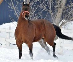 Big Mare In The Snow…    She's a gorgeous double bred Dandy Seeker mare…out of Dandy Dee Gal…by Kids Classic Style…her name is Kids Classic Gal…aka Janie…she is due in February…