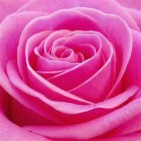 beautiful pink rose.jpg