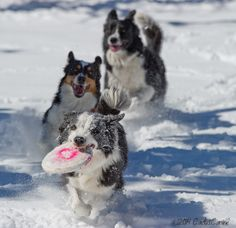 Border Collie gets a face full of snow in this game of chase...crazy dogs!