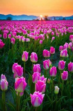 Pink tulips field in sunset