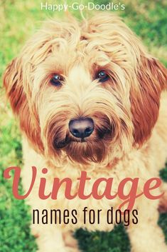 Dog Names Discover 101 Old Fashioned Dog Names For Girl Puppy Cuteness - Happy-Go-Doodle Noodling over an old fashioned name for your dog thats both vintage and cute? Here are 101 cute old-timey girl dog names with a nostalgic retro feel. Girl Dog Names Unique, Boy Dog Names, Puppy Names, Pet Names, Chien Goldendoodle, Goldendoodle Names, Goldendoodle Grooming, Dogs Names List, Cute Names For Dogs